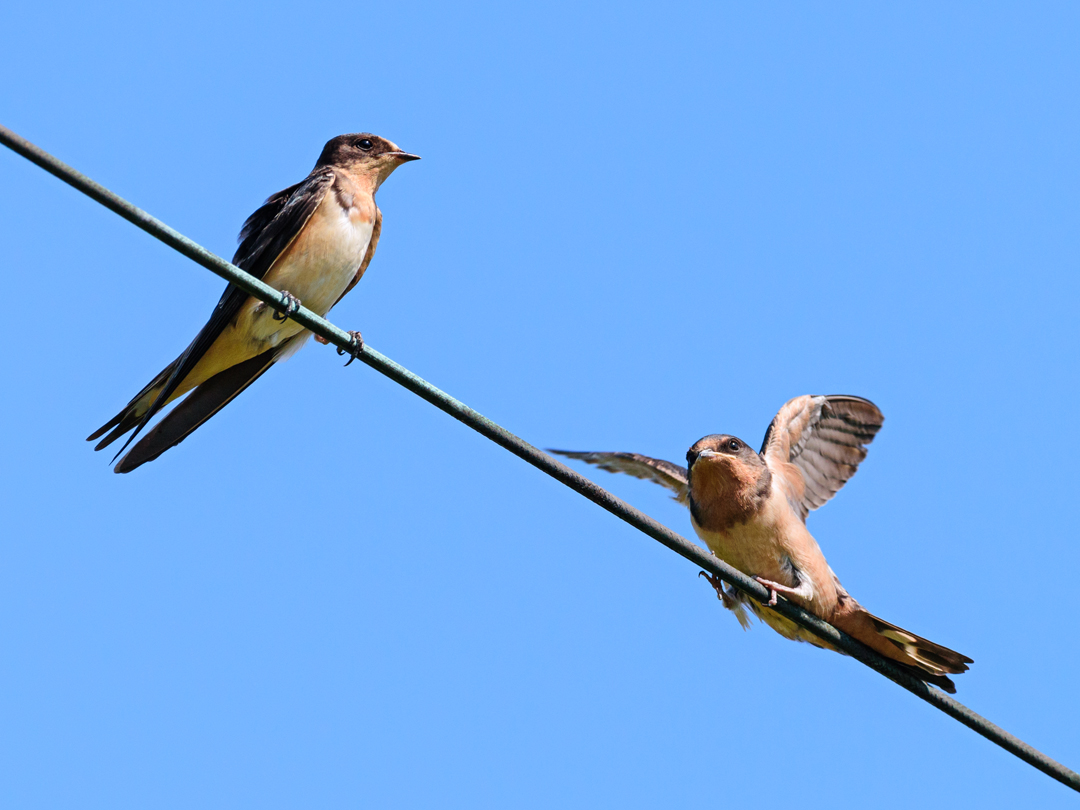 Barn Swallows, Great Swamp NWR, Morris County, NJ