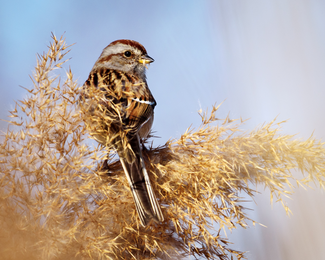 American Tree Sparrow, Liberty State Park, Jersey City, NJ, January 2016
